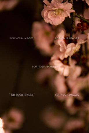 梅の写真素材 [FYI00056697]