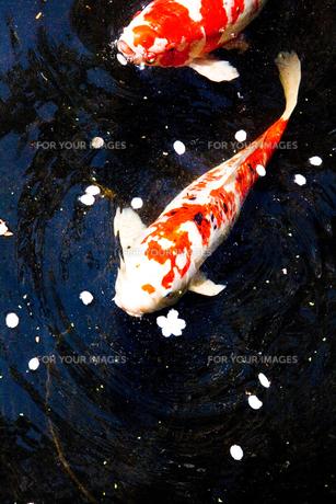 鯉の写真素材 [FYI00056701]