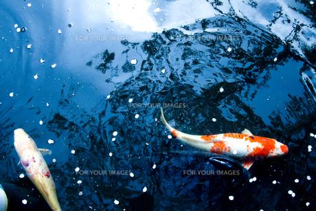 鯉の素材 [FYI00056705]