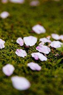 桜の素材 [FYI00056734]