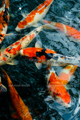 鯉の素材 [FYI00056743]