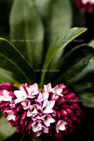 沈丁花の写真素材 [FYI00056796]