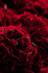 赤の世界-花-の写真素材 [FYI00056889]
