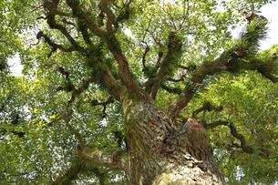 そびえる木の写真素材 [FYI00056909]