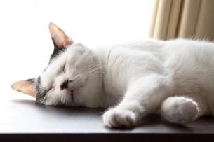 窓際で眠る白黒猫の素材 [FYI00056974]