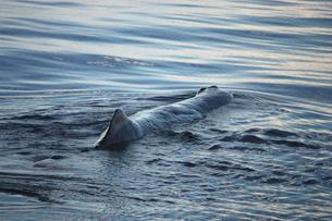 マッコウクジラの写真素材 [FYI00057033]
