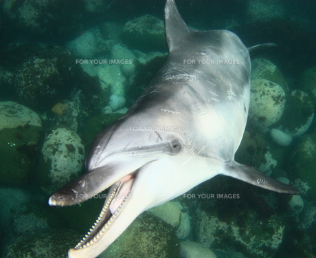野生のハンドウイルカ、御蔵島、口を開け歯が見えているの写真素材 [FYI00057055]