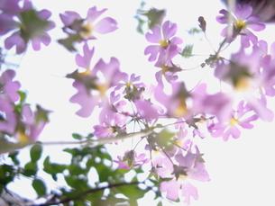 太陽の光に透けるさくら草の花の写真素材 [FYI00057057]