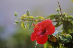 赤いハイビスカスの花、小笠原諸島 父島 東京都 日本の写真素材 [FYI00057062]