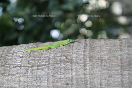 ハワイ島 幸せのヤモリ、ゲッコー は虫類の写真素材 [FYI00057079]