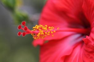 赤いハイビスカスの花の花粉、花びら、 小笠原諸島 父島 東京都 日本の写真素材 [FYI00057091]