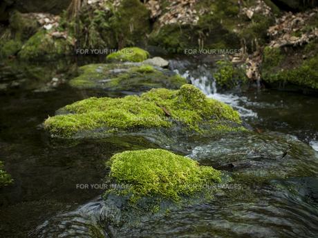 軽井沢の渓流と苔の写真素材 [FYI00057105]