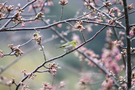メジロ横顔と河津桜の蕾 春、伊豆の写真素材 [FYI00057108]