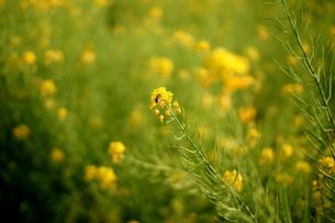 菜の花と虫の素材 [FYI00057423]