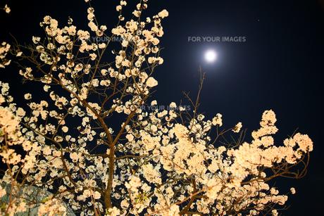 夜桜の素材 [FYI00057494]