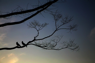 つがいの鳥の素材 [FYI00057510]