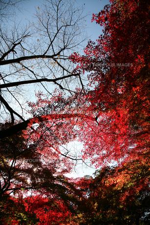 紅葉と空の素材 [FYI00057525]