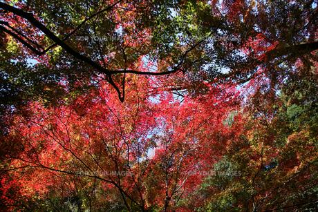 緑、黄、赤の紅葉の素材 [FYI00057526]