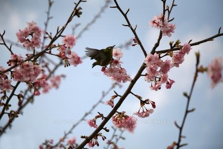 河津桜とメジロの素材 [FYI00057530]