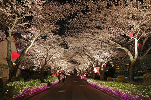 夜桜の素材 [FYI00057544]
