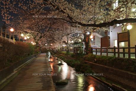 夜桜の素材 [FYI00057558]