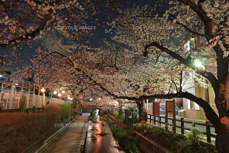 夜桜の素材 [FYI00057560]
