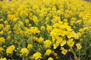 菜の花の写真素材 [FYI00057571]