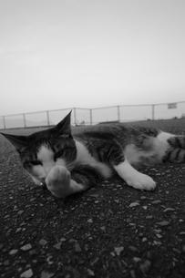 毛繕いをする猫の写真素材 [FYI00057584]
