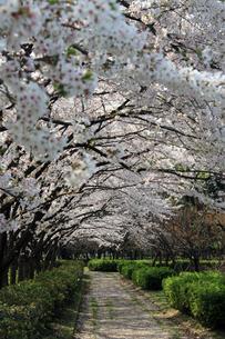 桜の小道の写真素材 [FYI00057589]