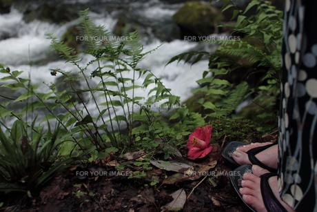 着物姿の女性の足元に椿の写真素材 [FYI00057590]