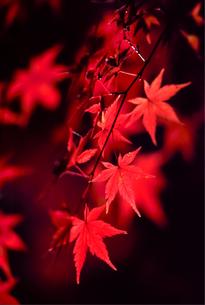 黒バックの紅葉の写真素材 [FYI00057650]