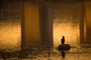 夕日に輝く川面と鵜のシルエットの写真素材 [FYI00057655]