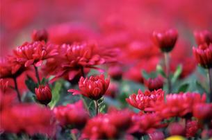 赤い花の写真素材 [FYI00057656]