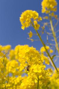 菜の花とミツバチの写真素材 [FYI00057660]