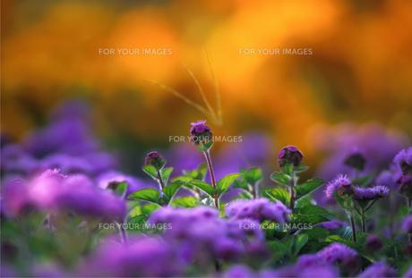 黄色い花のボケの前の紫の花の写真素材 [FYI00057664]
