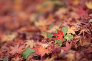 紅葉の絨毯の写真素材 [FYI00057666]