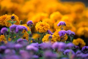 黄色い花と紫の花の写真素材 [FYI00057667]