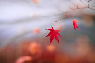 枝に残った二枚の紅葉の写真素材 [FYI00057669]