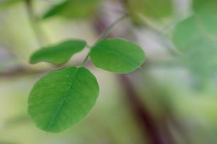 植木の緑の葉の写真素材 [FYI00057672]