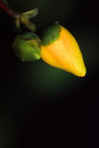 黒バックの黄色いバラのつぼみの写真素材 [FYI00057674]
