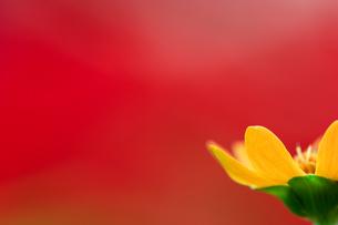 赤い花のボケの前の黄色い花の写真素材 [FYI00057675]
