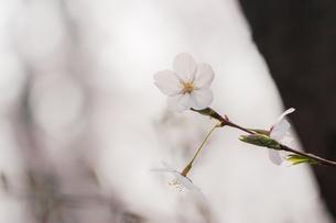 桜の花のクローズアップの写真素材 [FYI00057677]