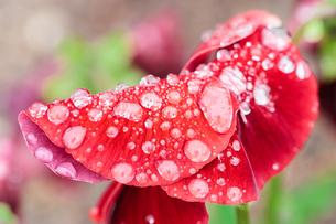 雨に濡れたパンジーの写真素材 [FYI00057680]
