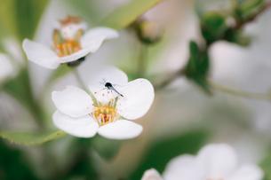 白い小さな花と虫の写真素材 [FYI00057683]
