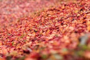 紅葉の絨毯の写真素材 [FYI00057686]