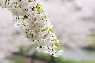 小雨に濡れる枝垂桜の写真素材 [FYI00057688]