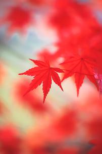 陽射しに輝く紅葉の写真素材 [FYI00057689]