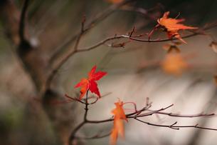 枝に残る紅葉の写真素材 [FYI00057692]
