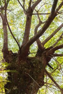 複雑な形状の大木のアップの写真素材 [FYI00057705]