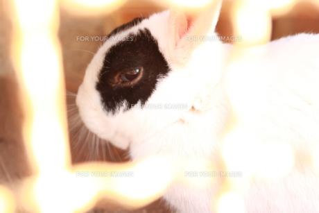 見つめるウサギの写真素材 [FYI00057728]
